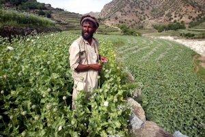 Opium crops in Afghanistan